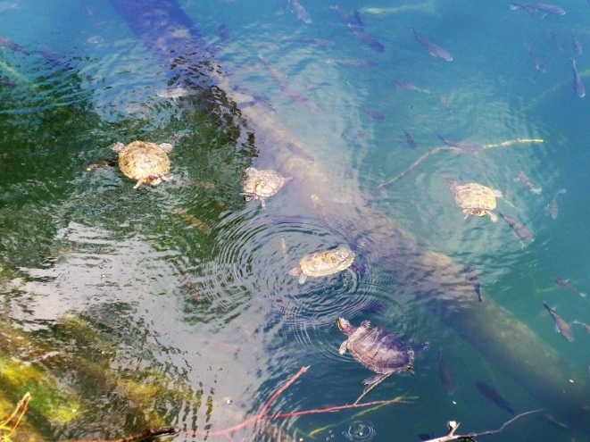 Terrapins at Hindhede Quarry