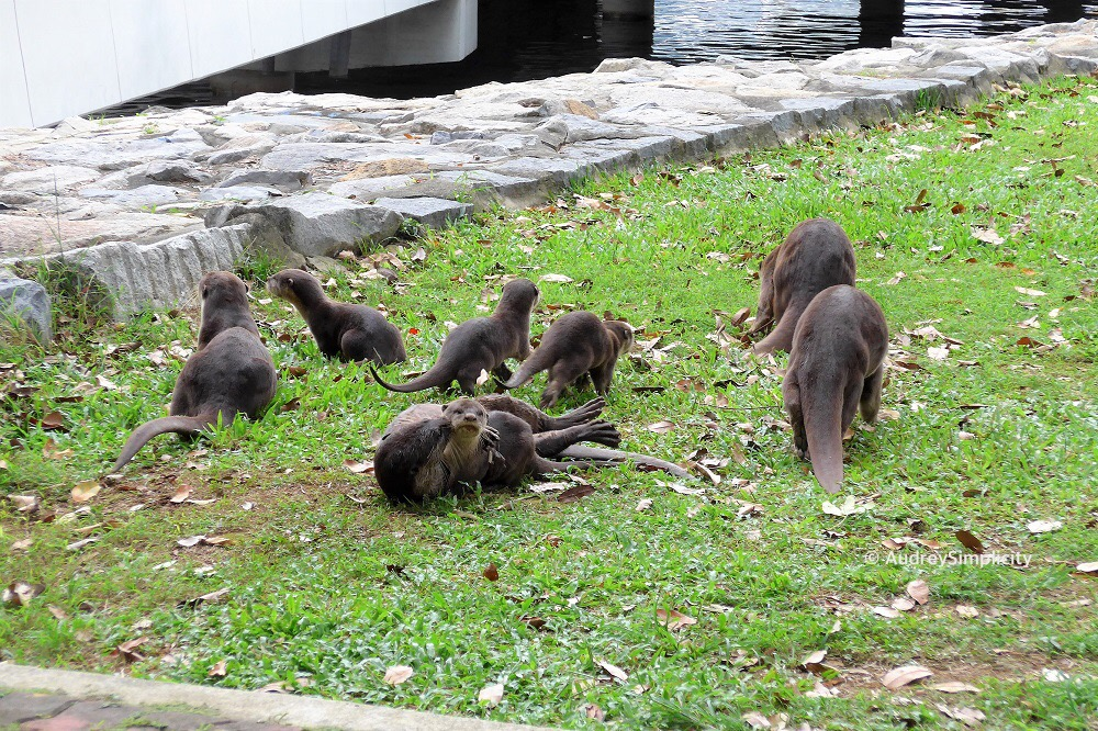 Family of Otters at Marina Bay