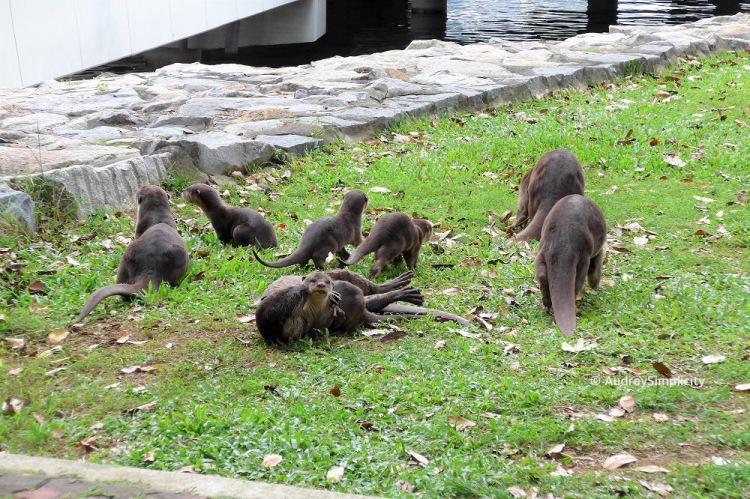 Family of Otters at Marina Bay