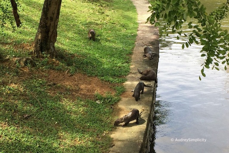Otters at Singapore River