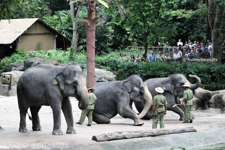 Singapore Zoo - Elephant Performance
