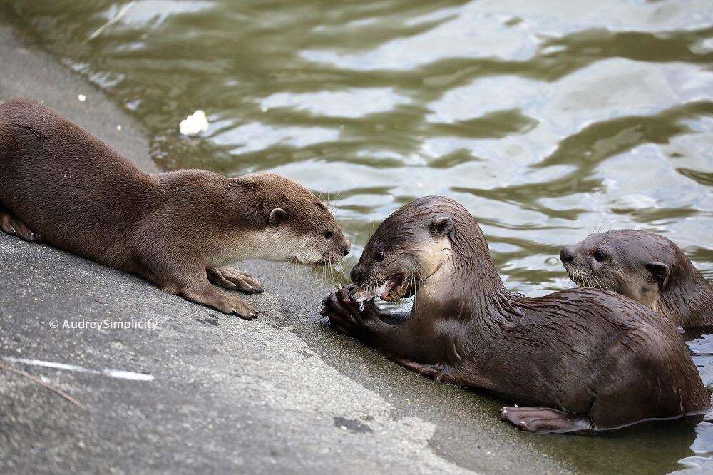 Otters in Singapore - Pasir Ris