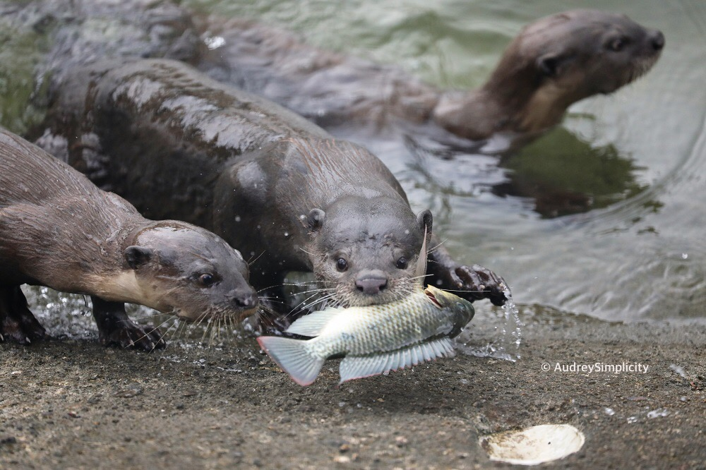 Singapore Otters