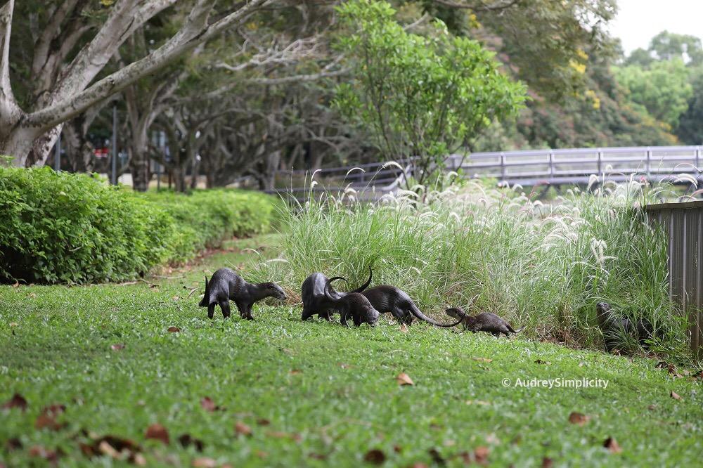 Singapore Otters