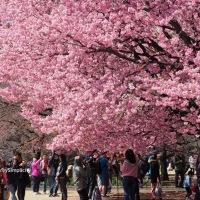 Sakura 🌸 Spring in Tokyo